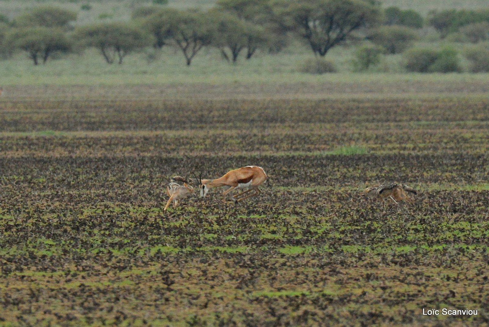 Chacals à chabraque et Springbok/Jackals and Springbok (2)