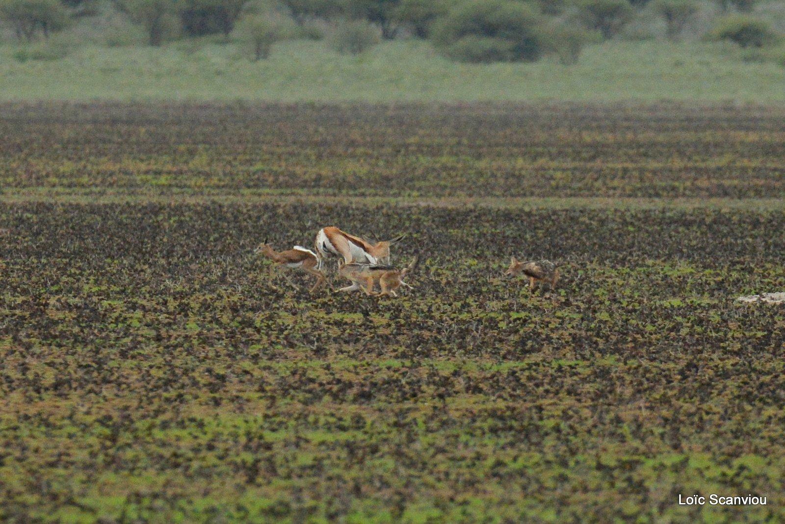 Chacals à chabraque et Springbok/Jackals and Springbok (3)