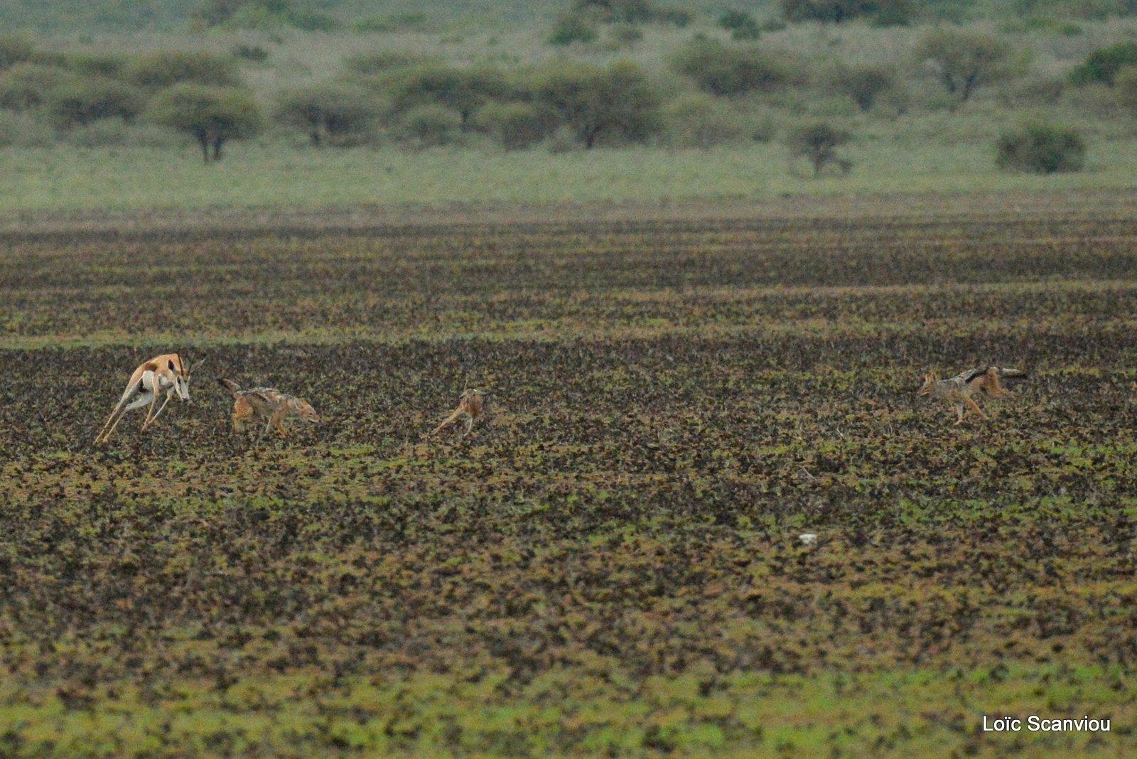 Chacals à chabraque et Springbok/Jackals and Springbok (4)
