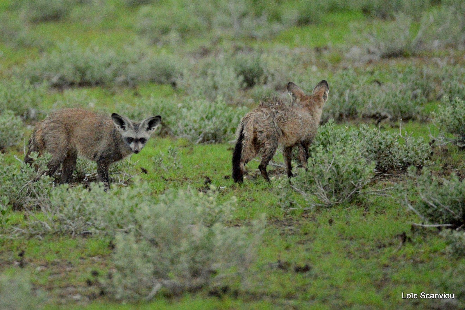 Otocyon/Bat-eared Fox (4)