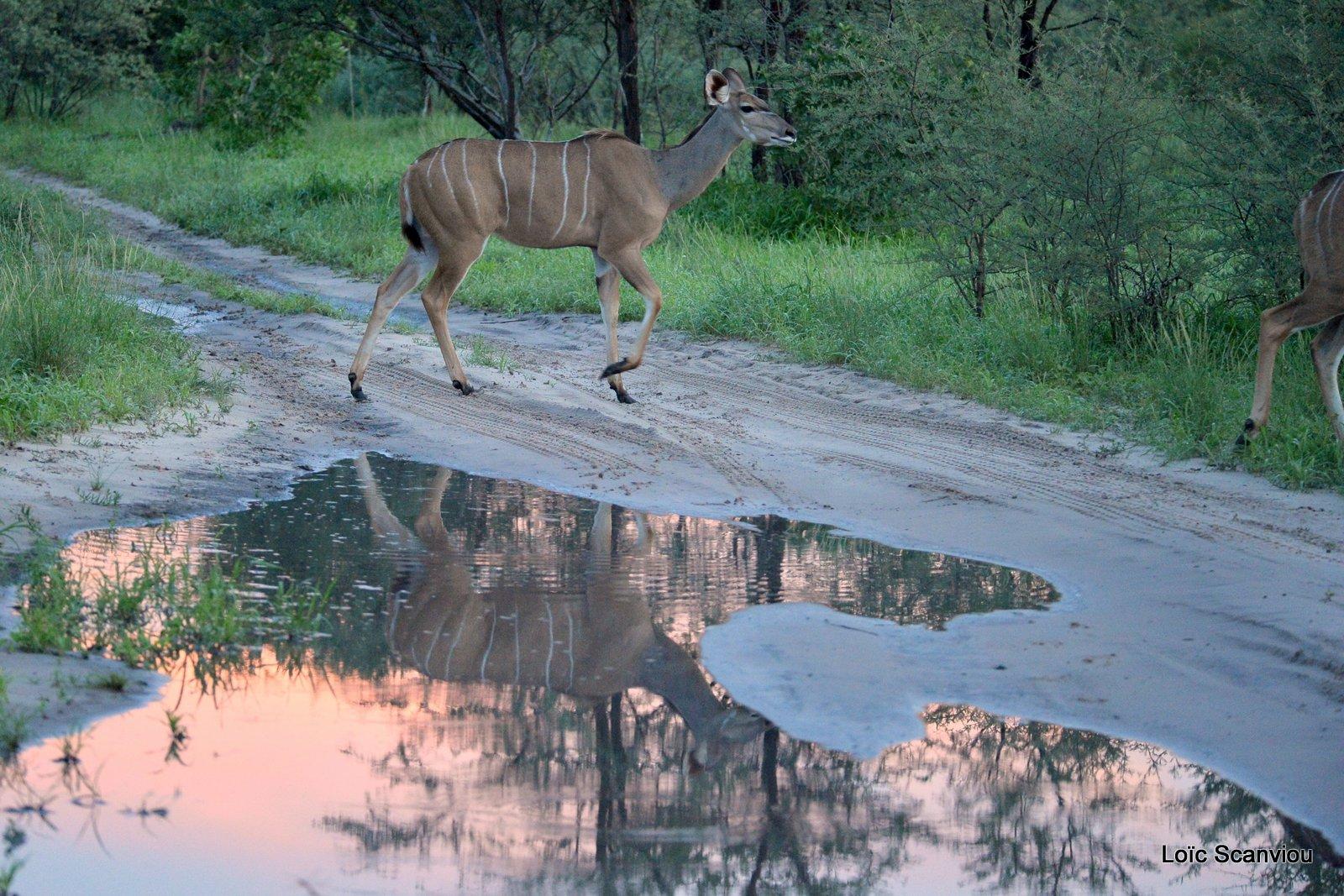Grand koudou/Greater Kudu (3)
