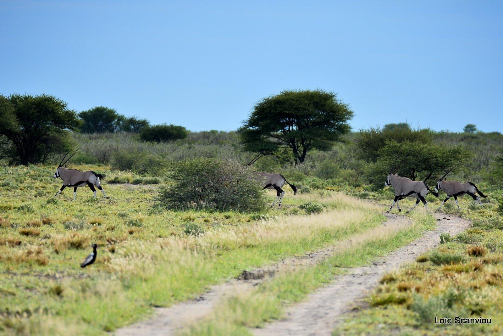 Oryx gazelle/Gemsbok (7)