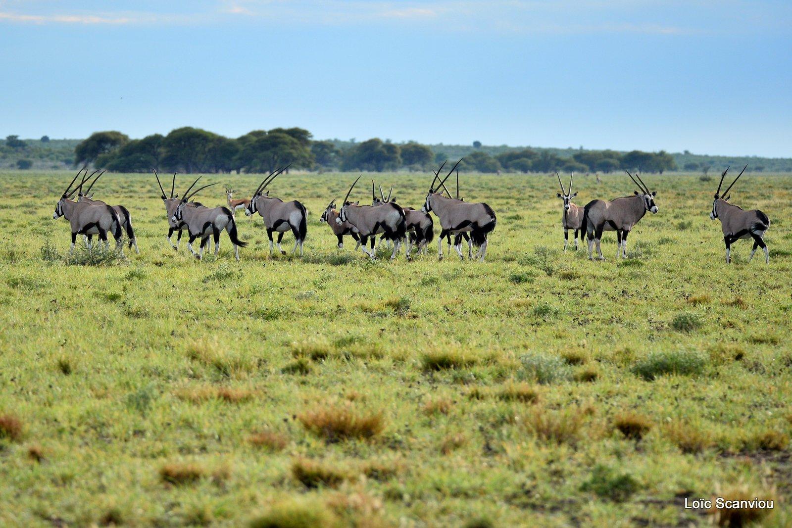 Oryx gazelle/Gemsbok (8)