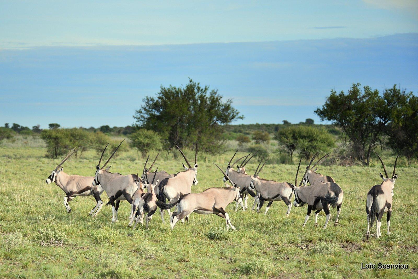 Oryx gazelle/Gemsbok (9)