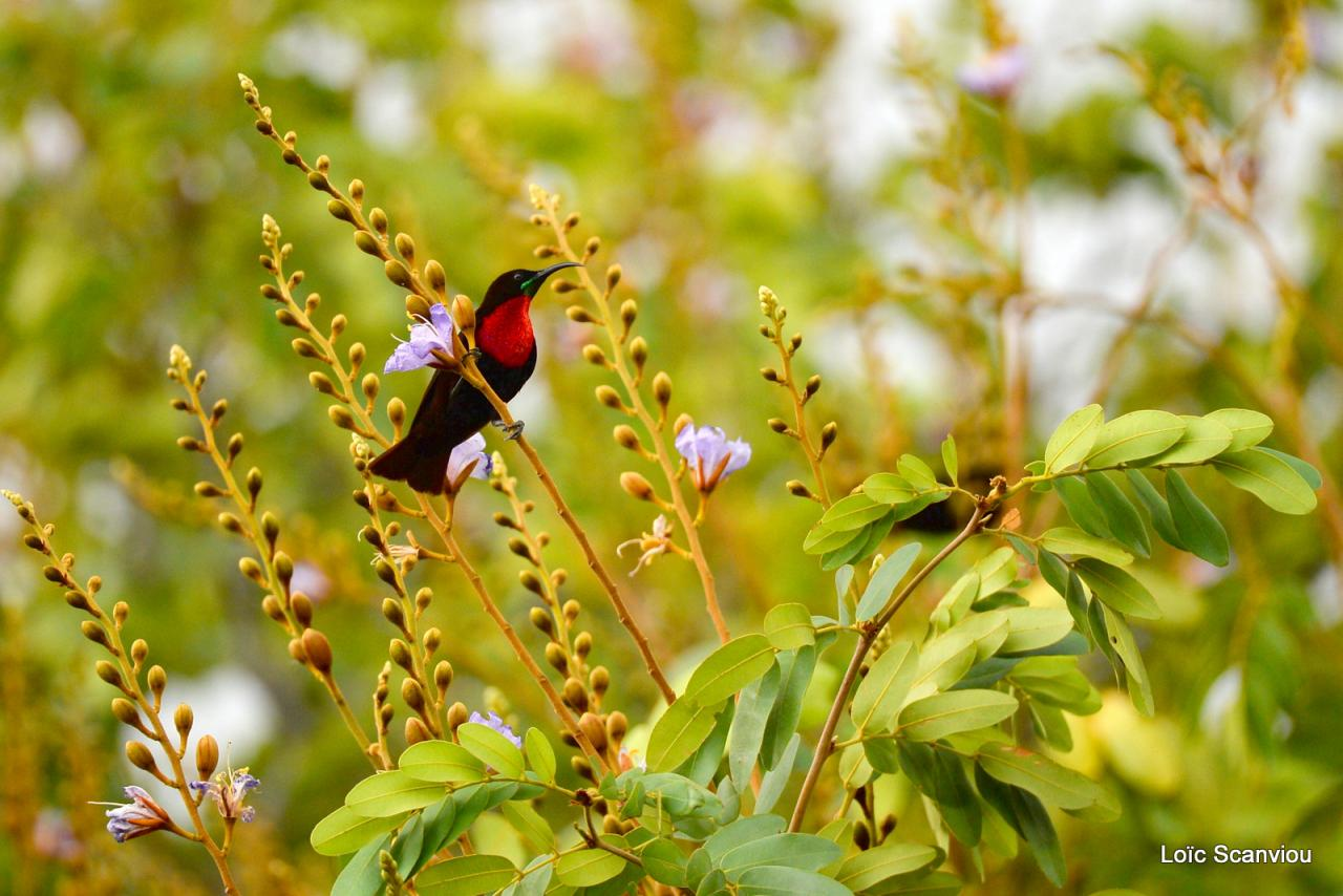 Souimanga à poitrine rouge/Scarlet-chested Sunbird (1)