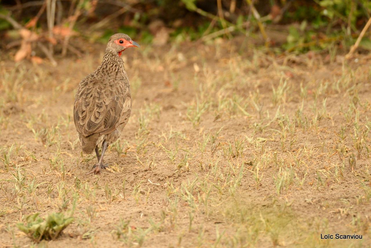 Francolin à gorge rouge/Red-necked Spurfowl (1)