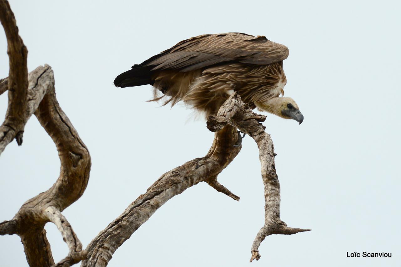 Vautour africain/White-backed Vulture (1)