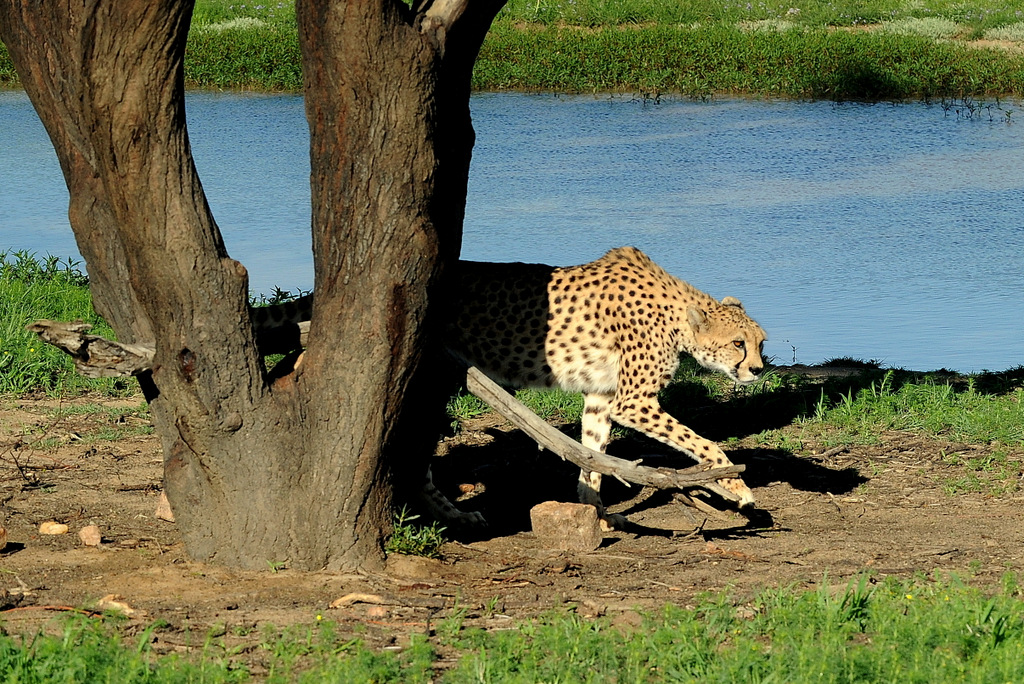 Guépard/Cheetah (2)