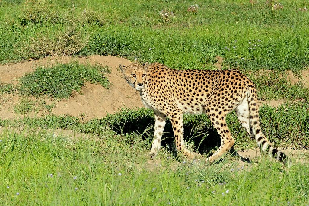 Guépard/Cheetah (5)