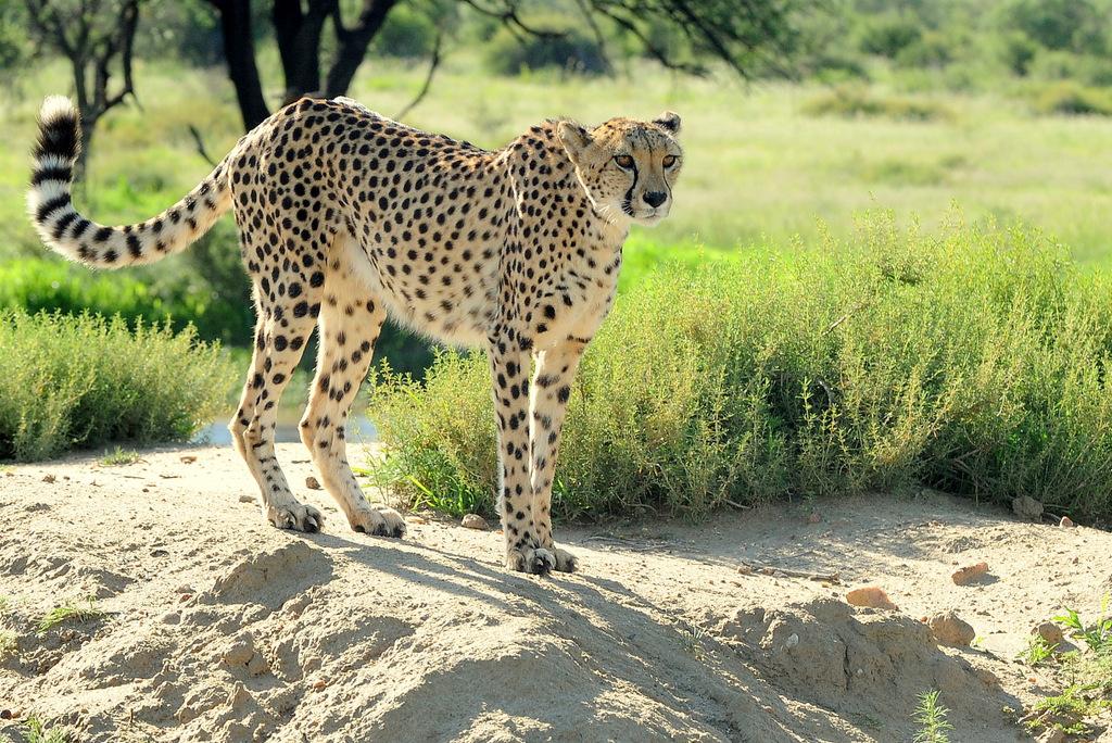 Guépard/Cheetah (8)
