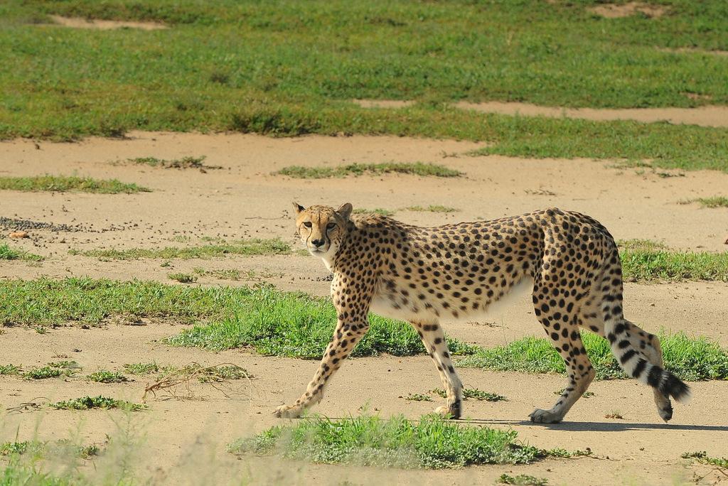Guépard/Cheetah (13)