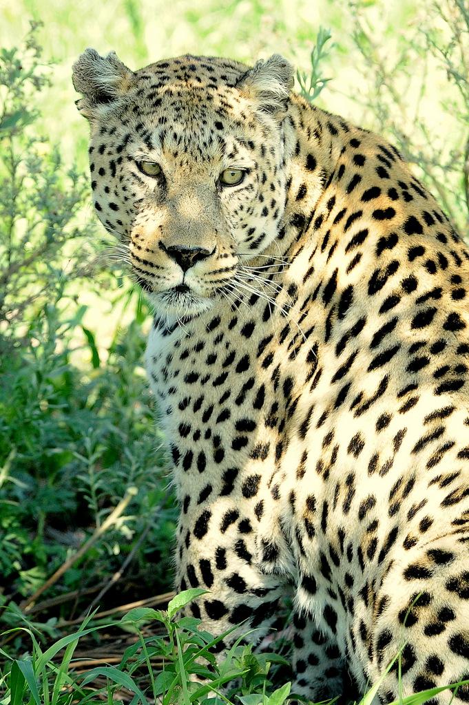 Léopard au sol (5)