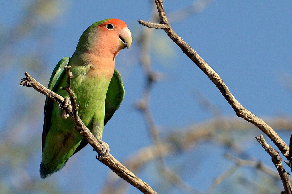 Inséparable rosegorge/Rosy-faced Lovebird (2)
