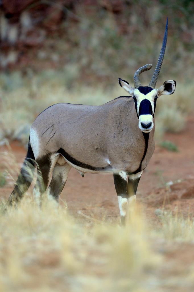 Oryx gazelle/Gemsbok (1)