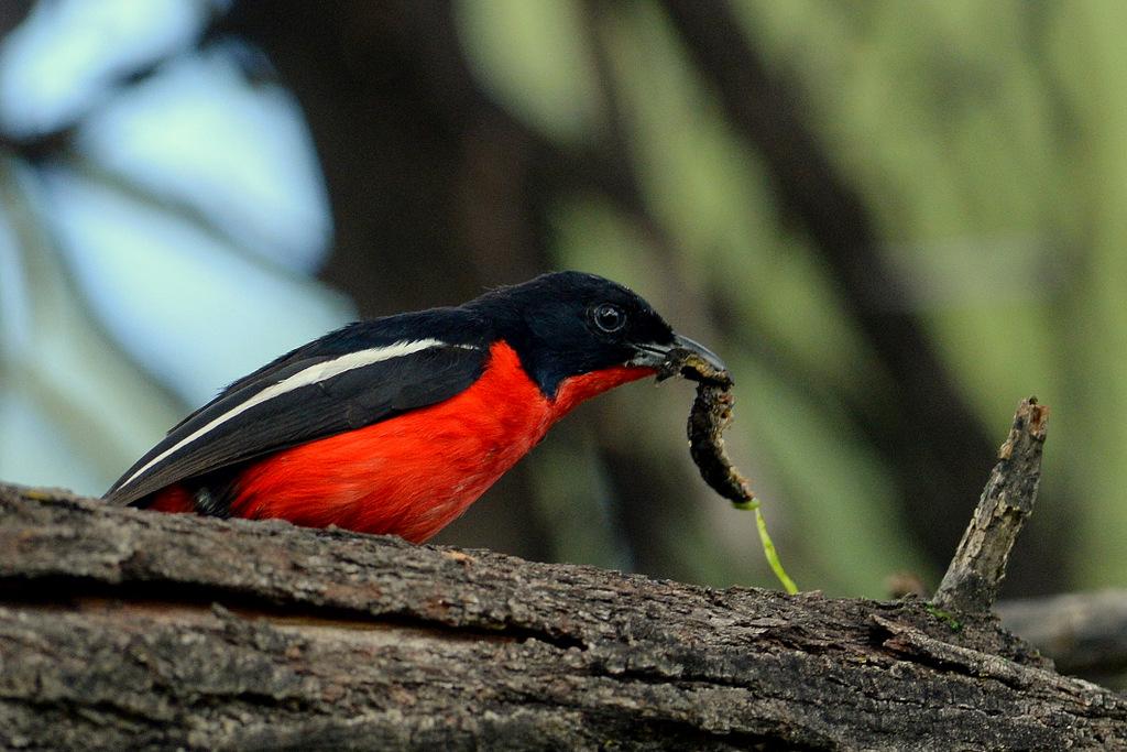Gonolek rouge et noir/Crimson-breasted Shrike (2)