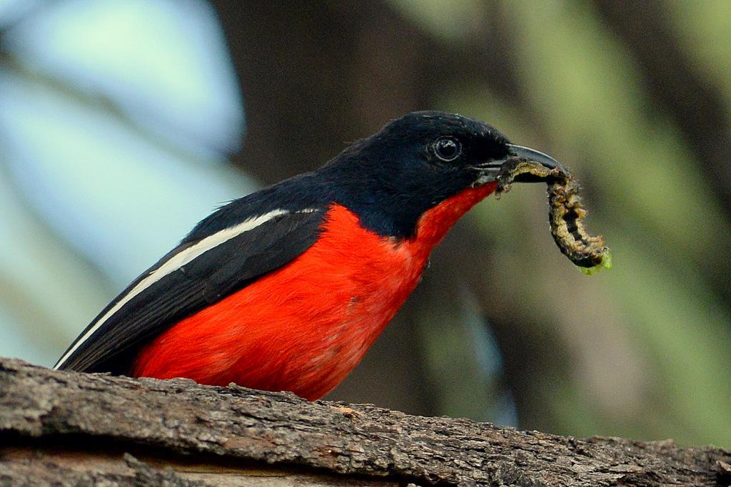 Gonolek rouge et noir/Crimson-breasted Shrike (3)