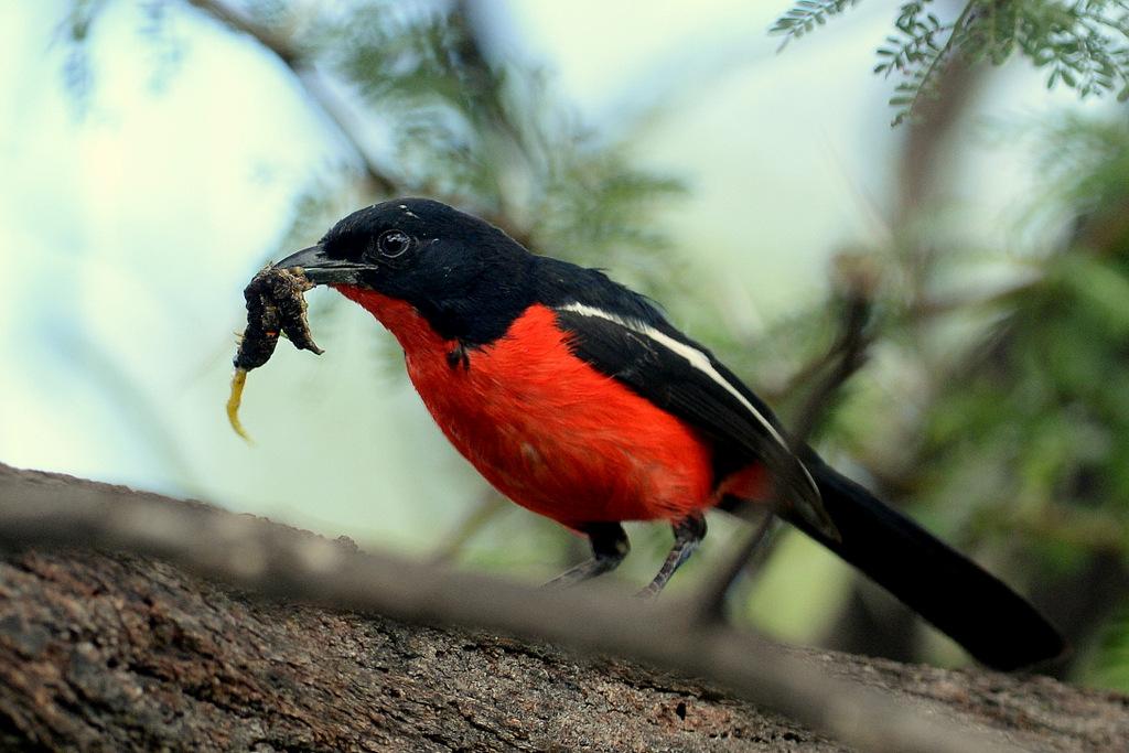 Gonolek rouge et noir/Crimson-breasted Shrike (4)
