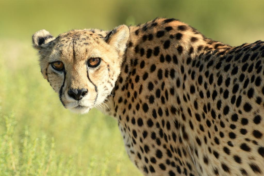 Guépard/Cheetah (14)