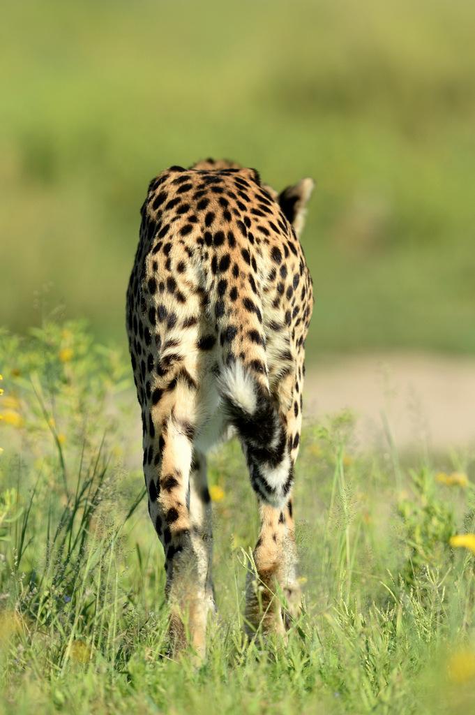 Guépard/Cheetah (15)