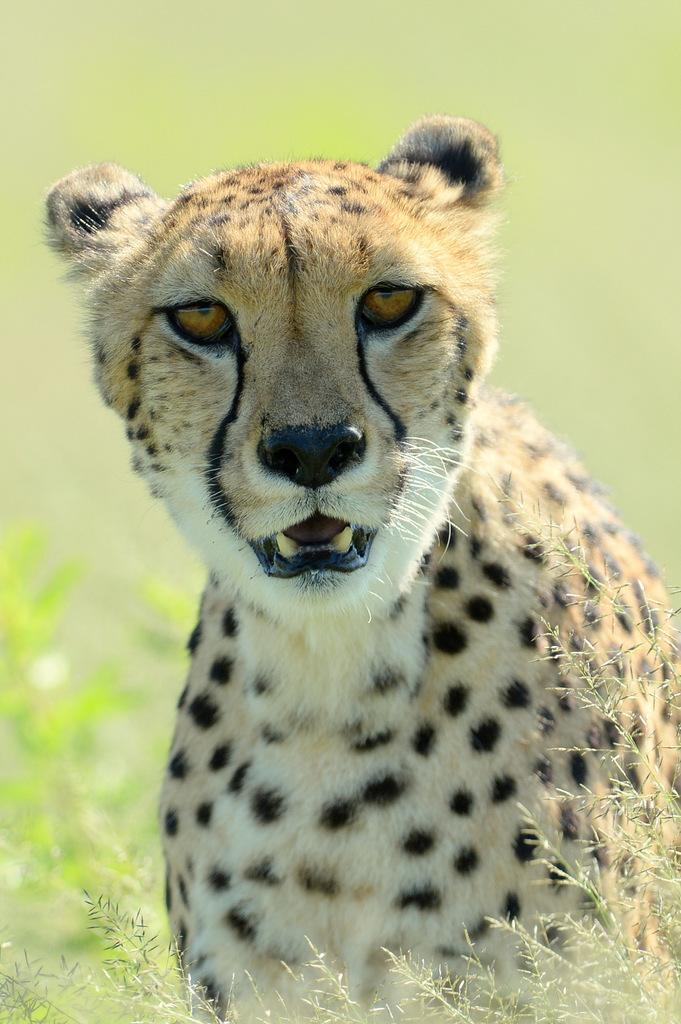 Guépard/Cheetah (22)