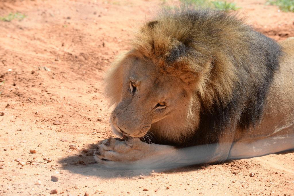 Lion (10)