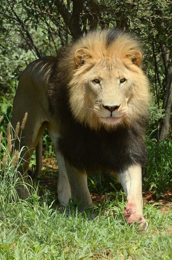 Lion (11)