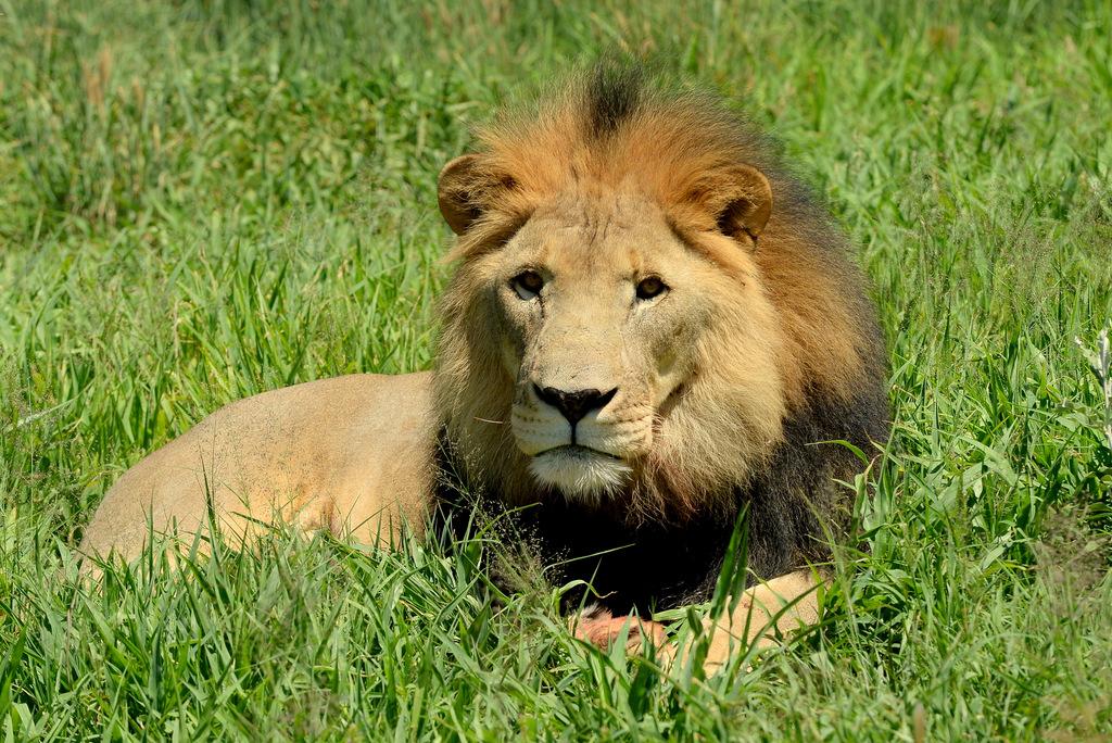 Lion (15)