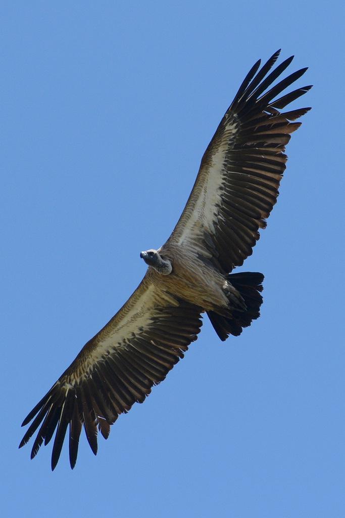 Vautour/Vulture (1)