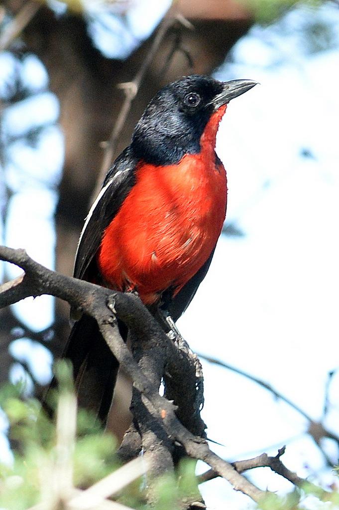 Gonolek rouge et noir/Crimson-breasted Shrike (5)
