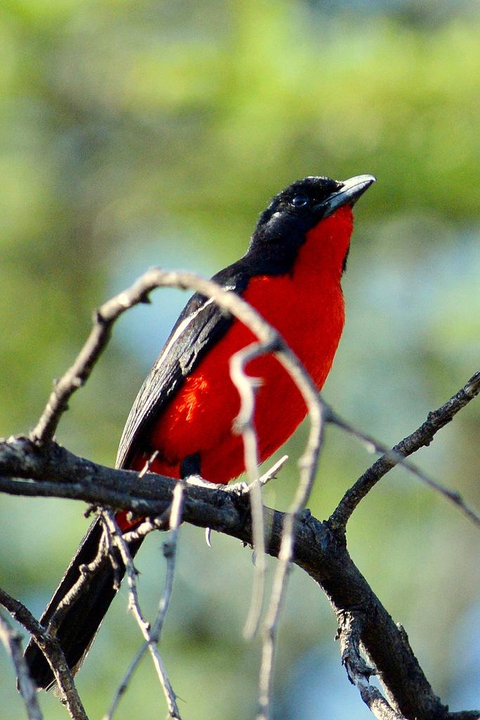 Gonolek rouge et noir/Crimson-breasted Shrike (6)