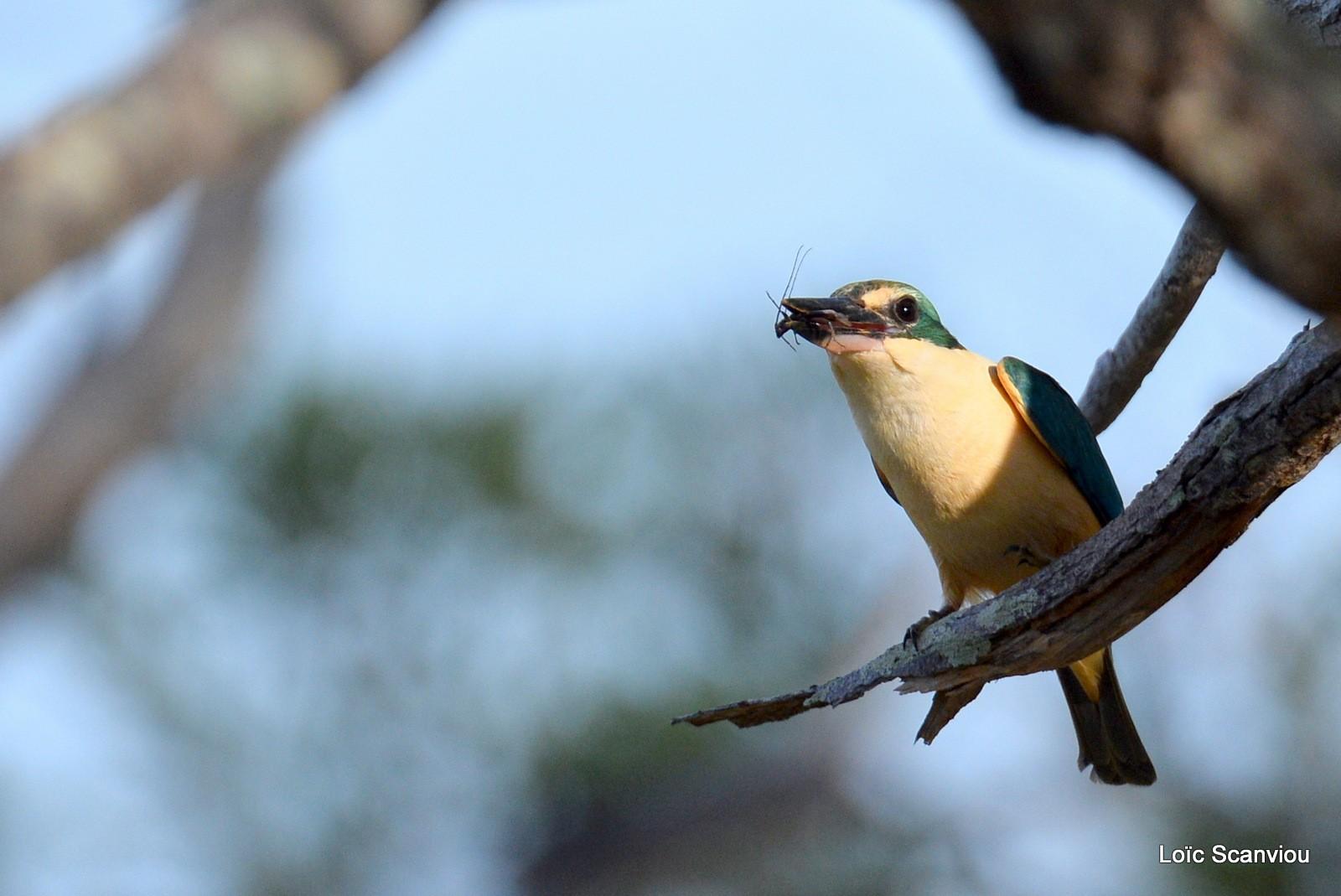 Martin-chasseur sacré/Sacred Kingfisher (5)