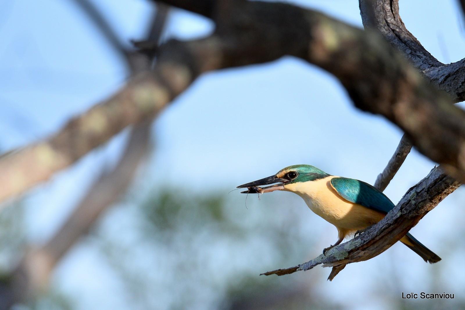Martin-chasseur sacré/Sacred Kingfisher (6)