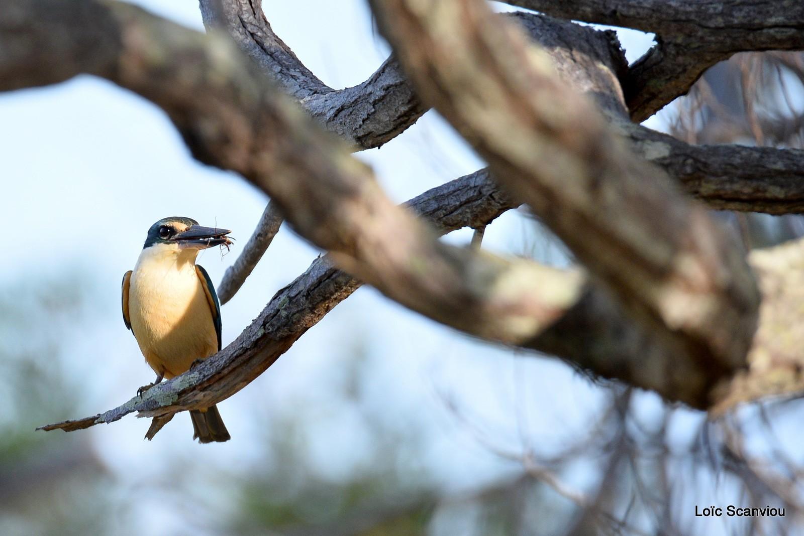 Martin-chasseur sacré/Sacred Kingfisher (7)