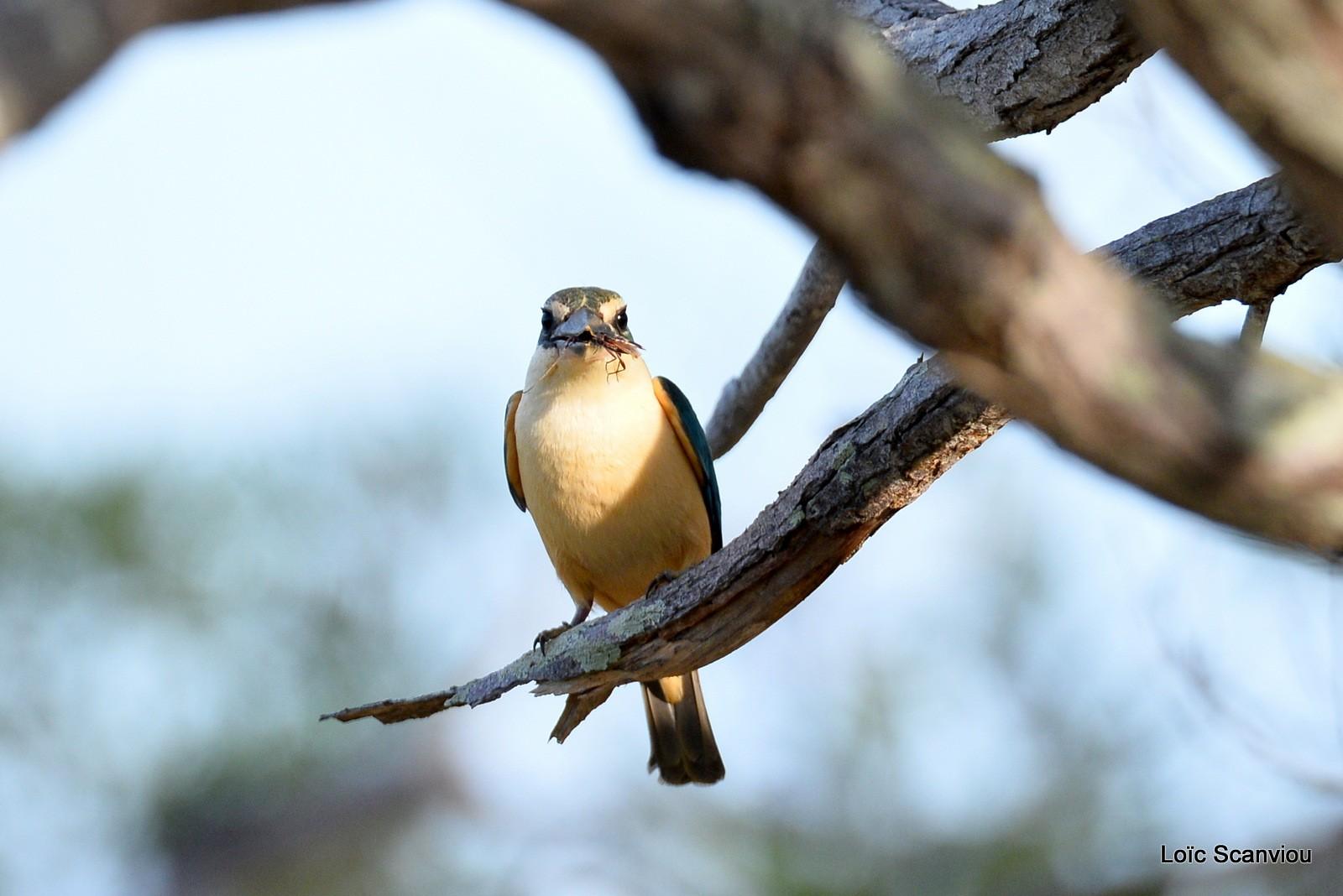 Martin-chasseur sacré/Sacred Kingfisher (8)
