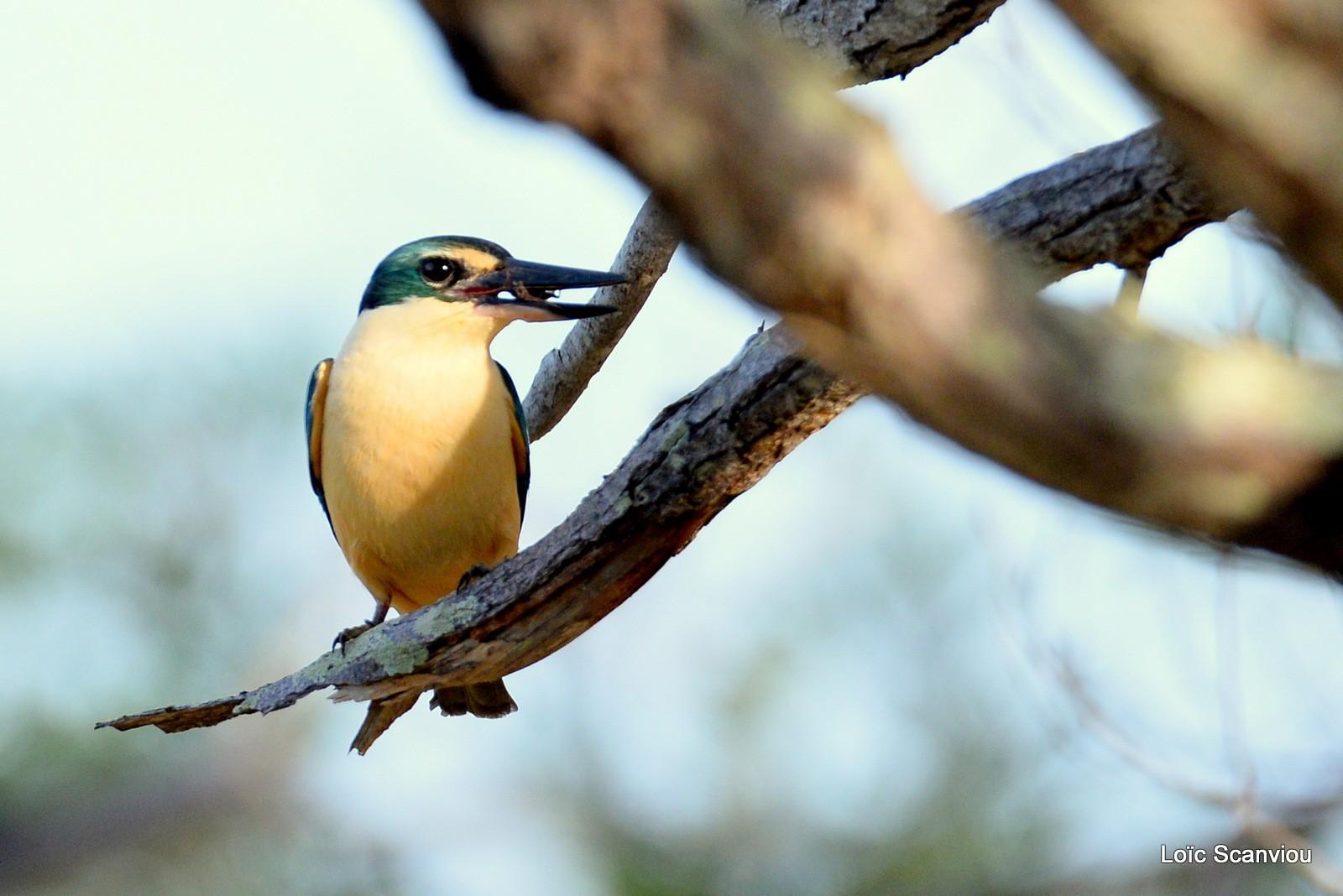Martin-chasseur sacré/Sacred Kingfisher (9)