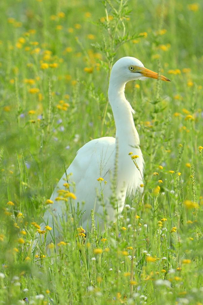Grande aigrette/Great White Egret (1)