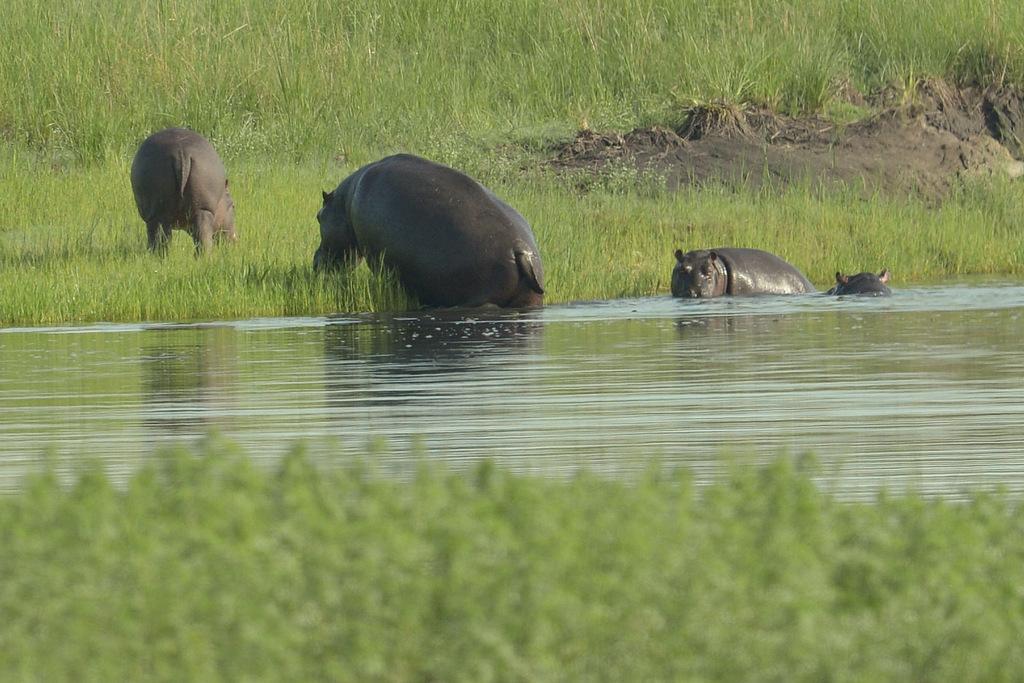 Hippopotame/Hippopotamus (1)