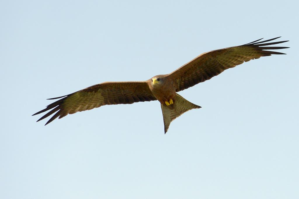 Milan à bec jaune/Yellow-billed Kite (1)