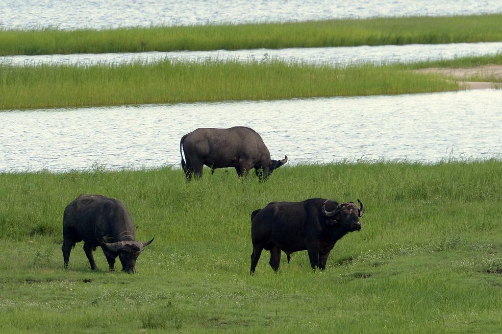 Buffle du Cap/Cape Buffalo (1)