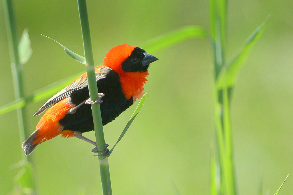 Euplecte ignicolore/Southern Red Bishop (1)