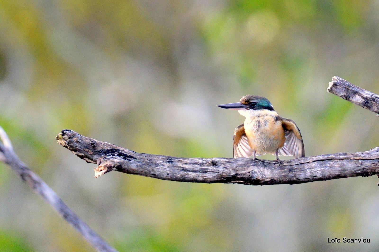 Martin-chasseur sacré/Sacred Kingfisher (2)