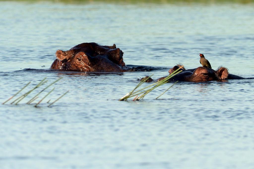 Hippopotame/Hippopotamus (2)