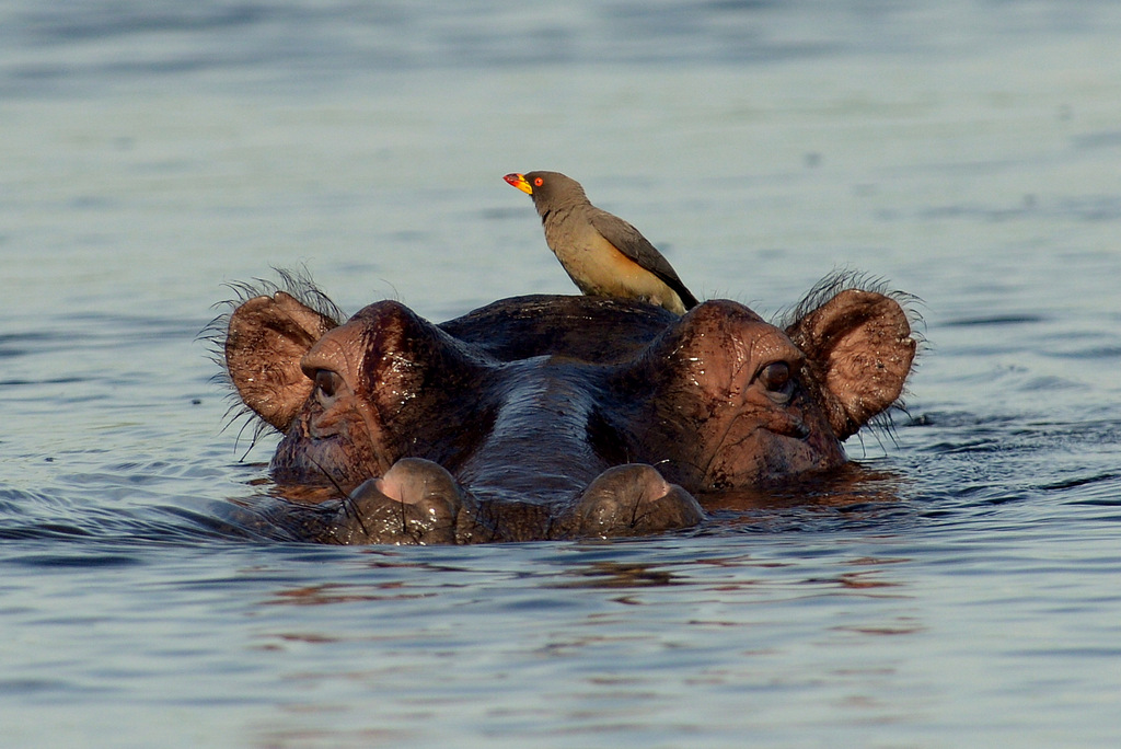 Hippopotame/Hippopotamus (3)