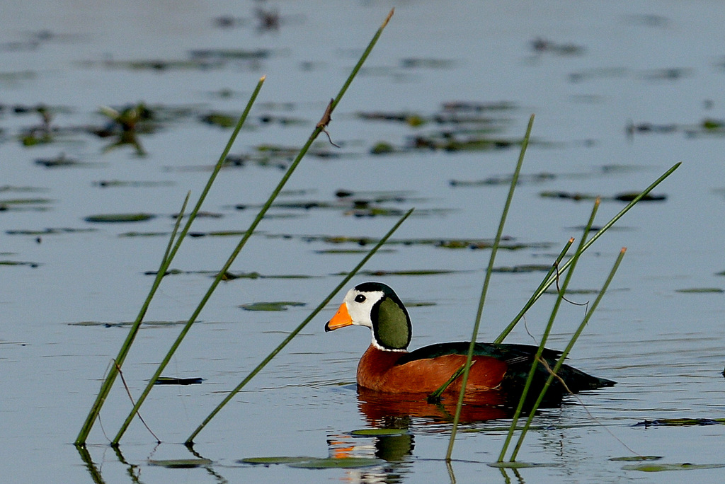 Anserelle naine/African Pygmy-Goose (3)