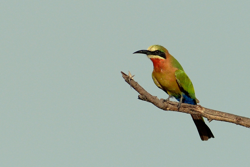 Guêpier à front blanc/White-fronted Bee-Eater (1)