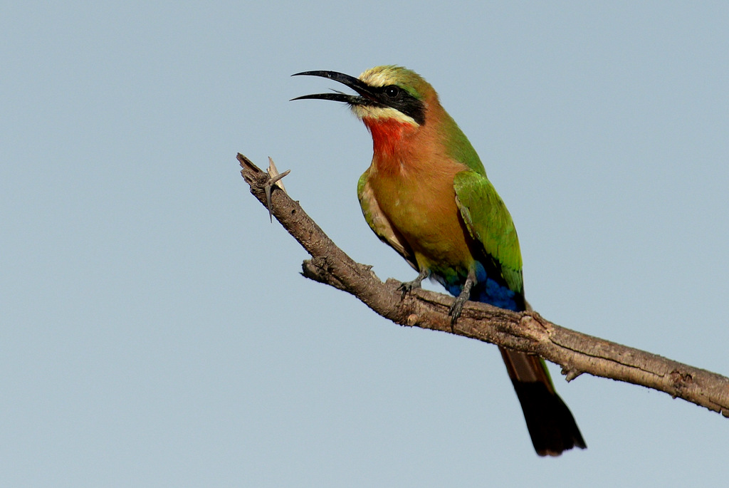 Guêpier à front blanc/White-fronted Bee-Eater