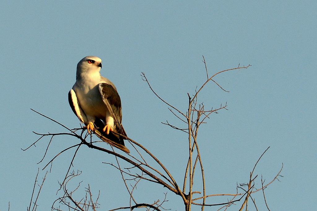 Elanion blanc/Black-shouldered Kite (1)
