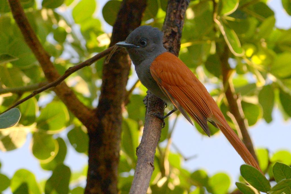 Tchitrec d'Afrique/African Paradise-Flycatcher (2)