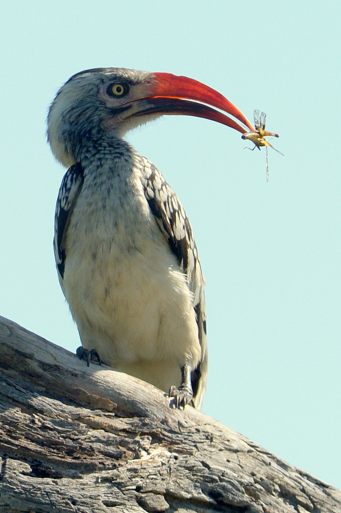 Calao à bec rouge/Red-billed Hornbill (1)