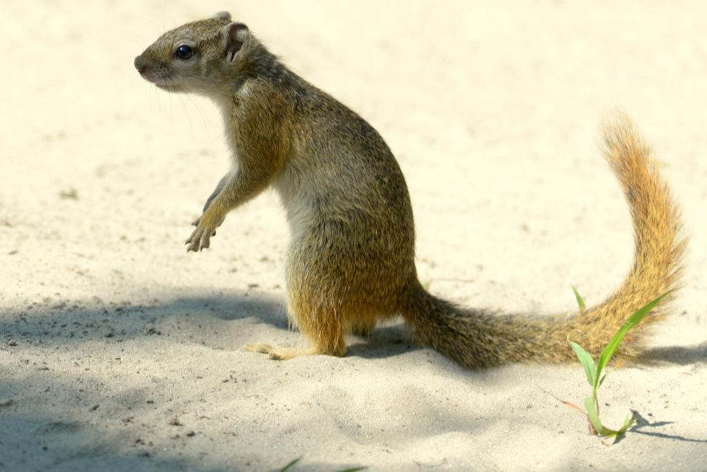 Ecureuil/Squirrel (1)